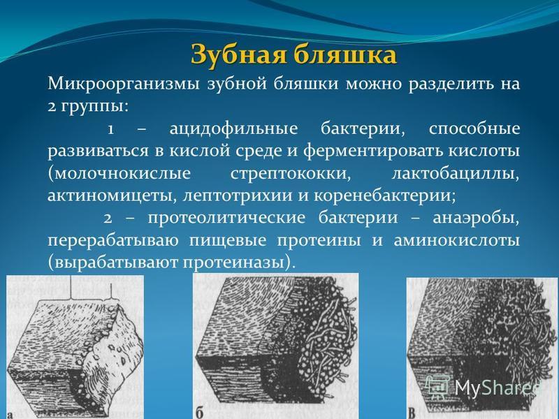 Зубная бляшка Микроорганизмы зубной бляшки можно разделить на 2 группы: 1 – ацидофильные бактерии, способные развиваться в кислой среде и ферментировать кислоты (молочнокислые стрептококки, лактобациллы, актиномицеты, лептотрихии и коринебактерии; 2