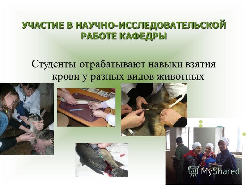 УЧАСТИЕ В НАУЧНО-ИССЛЕДОВАТЕЛЬСКОЙ РАБОТЕ КАФЕДРЫ Студенты отрабатывают навыки взятия крови у разных видов животных