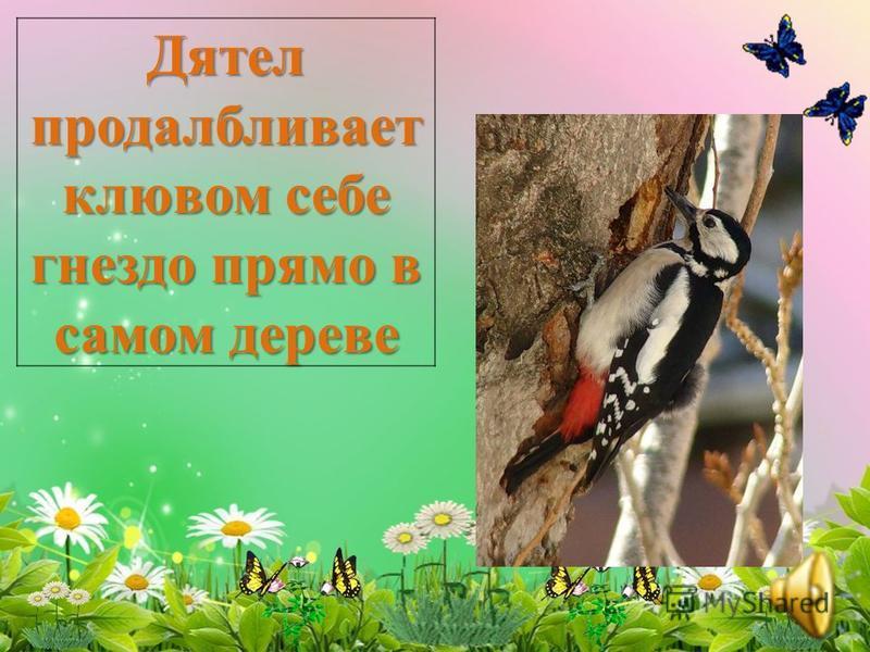 У дрозда гнездо снаружи зеленым мхом украшено, внутри - как чашечка гладкое. Мастерит лапками да носиком. Внутри обмазывает древесныой трухой со своей слюнкой.