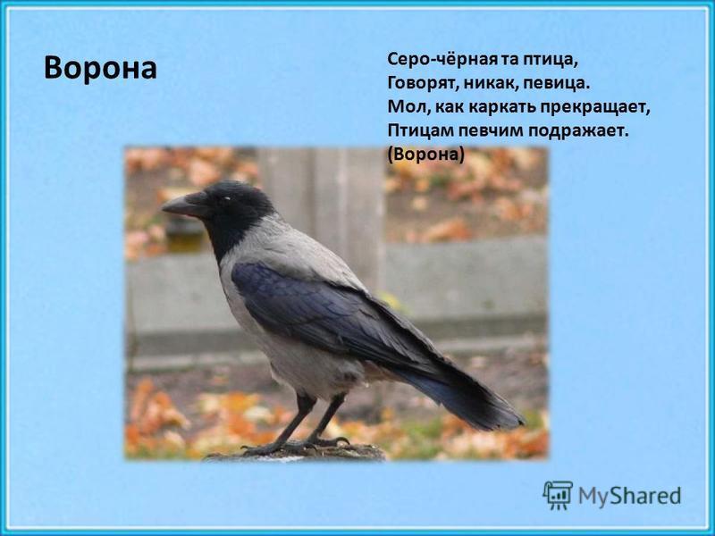Ворона Серо-чёрная та птица, Говорят, никак, певица. Мол, как каркать прекращает, Птицам певчим подражает. (Ворона)