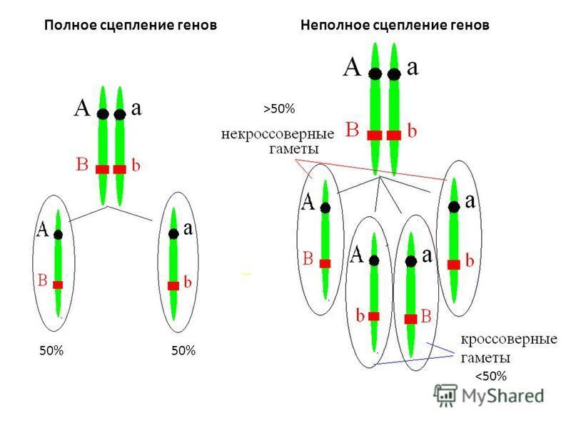 Полное сцепление генов Неполное сцепление генов 50% <50% >50%