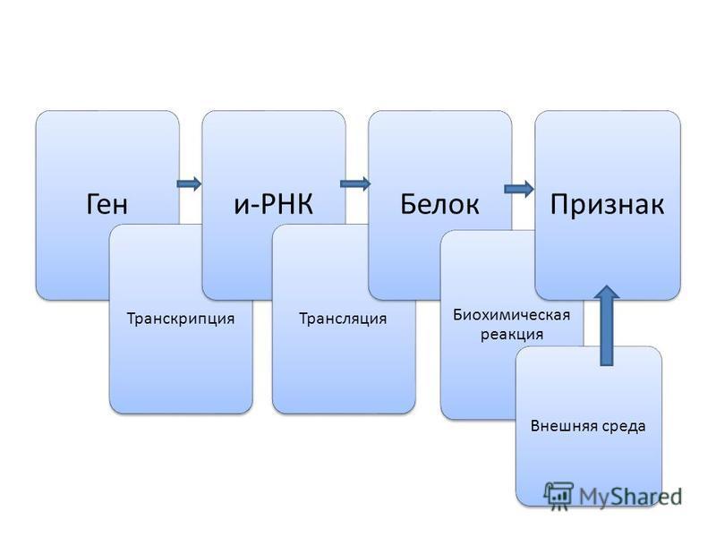 Ген Транскрипция и-РНК Трансляция Белок Биохимическая реакция Признак Внешняя среда