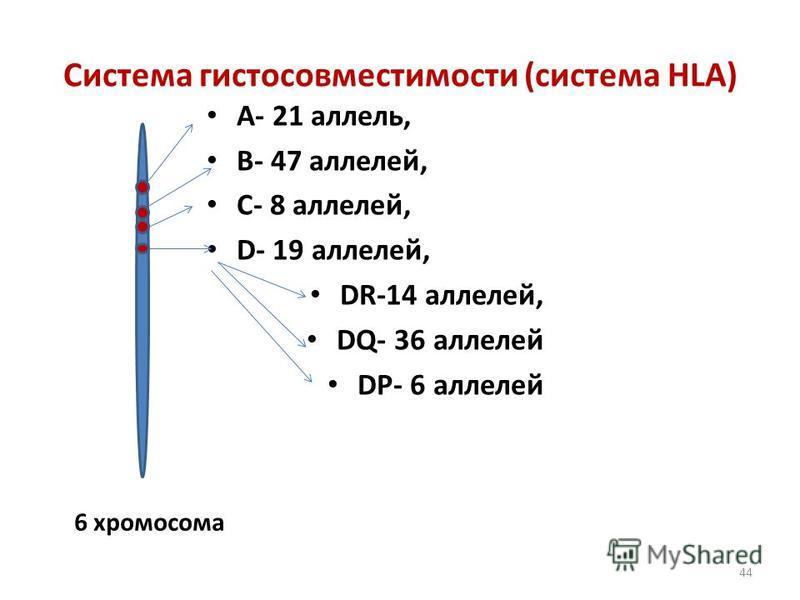 44 Система гистосовместимости (система HLA) А- 21 аллелиь, В- 47 аллелией, С- 8 аллелией, D- 19 аллелией, DR-14 аллелией, DQ- 36 аллелией DР- 6 аллелией 6 хромосома