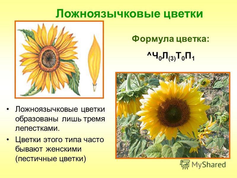 Ложноязычковые цветки Формула цветка: ^Ч 0 Л (3) Т 0 П 1 Ложноязычковые цветки образованы лишь тремя лепестками. Цветки этого типа часто бывают женскими (пестичные цветки)