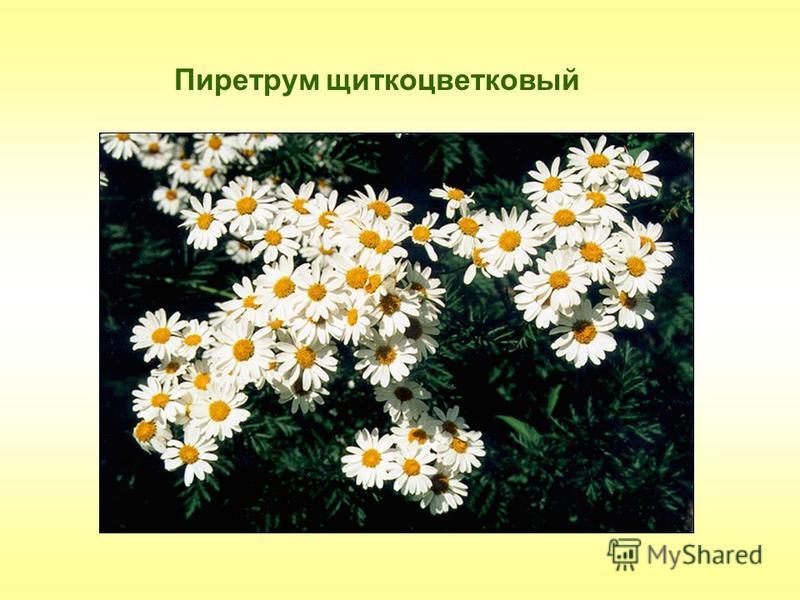 Пиретрум щиткоцветковый
