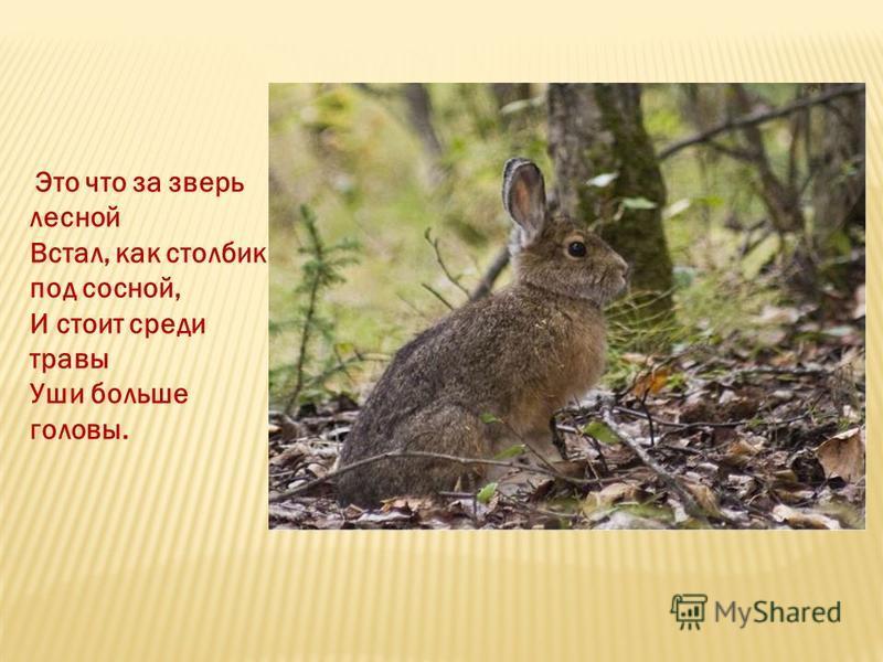Это что за зверь лесной Встал, как столбик под сосной, И стоит среди травы Уши больше головы.