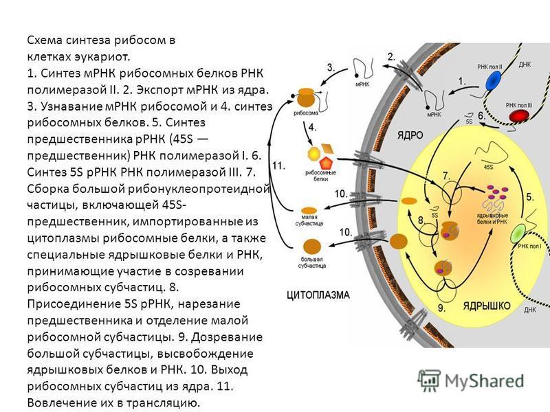 Схема синтеза рибосом в клетках эукариот. 1. Синтез мРНК рибосомных белков РНК полимеразой II. 2. Экспорт мРНК из ядра. 3. Узнавание мРНК рибосомой и 4. синтез рибосомных белков. 5. Синтез предшественника рРНК (45S предшественник) РНК полимеразой I.