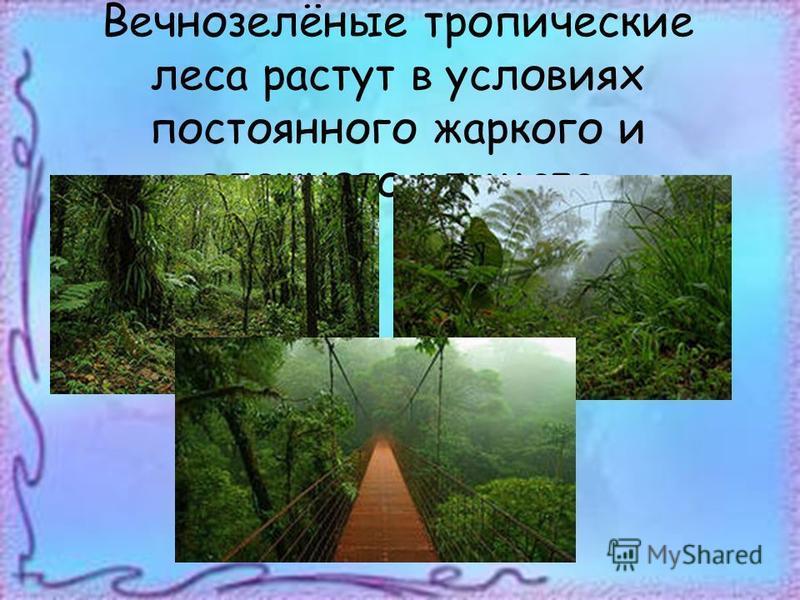 Вечнозелёные тропические леса растут в условиях постоянного жаркого и влажного климата