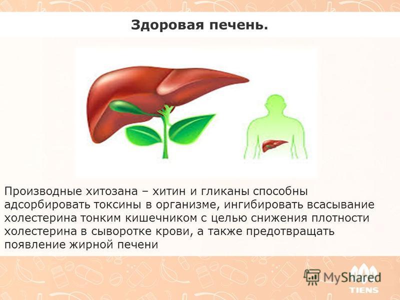 Здоровая печень. Производные хитозана – хитин и гликаны способны адсорбировать токсины в организме, ингибировать всасывание холестерина тонким кишечником с целью снижения плотности холестерина в сыворотке крови, а также предотвращать появление жирной