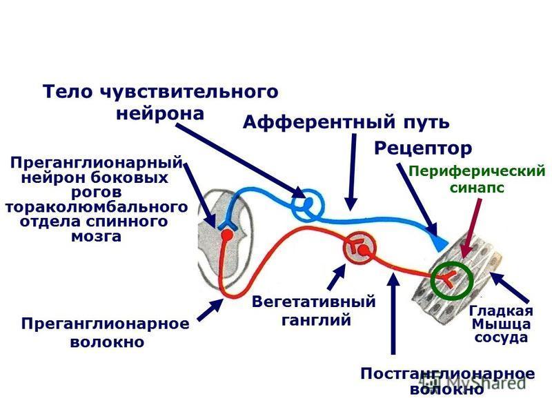 Рецептор Афферентный путь Тело чувствительного нейрона Преганглионарный нейрон боковых рогов тораколюмбального отдела спинного мозга Преганглионарное волокно Вегетативный ганглий Постганглионарное волокно Гладкая Мышца сосуда Периферический синапс