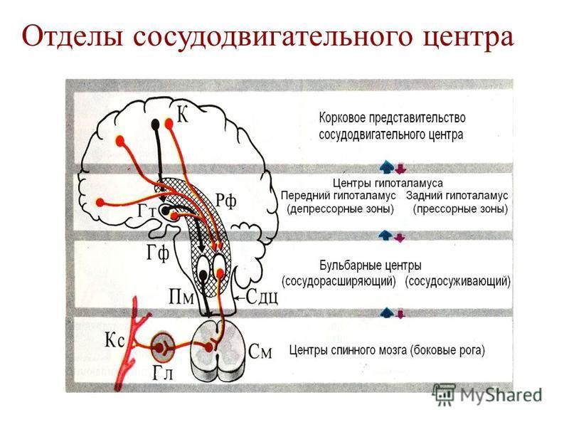 Отделы сосудодвигательного центра