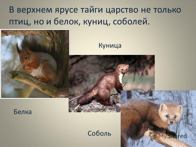 В верхнем ярусе тайги царство не только птиц, но и белок, куниц, соболей. Белка Куница Соболь