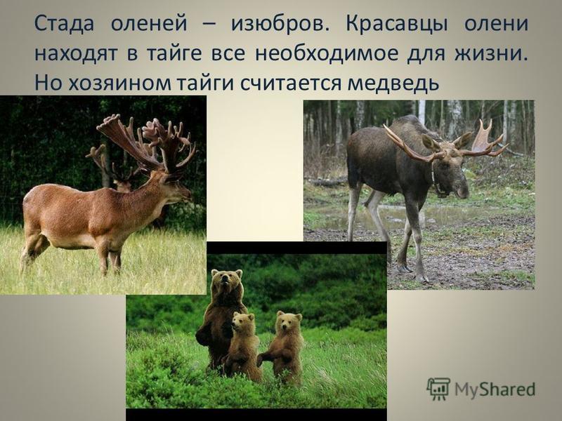 Стада оленей – изюбров. Красавцы олени находят в тайге все необходимое для жизни. Но хозяином тайги считается медведь