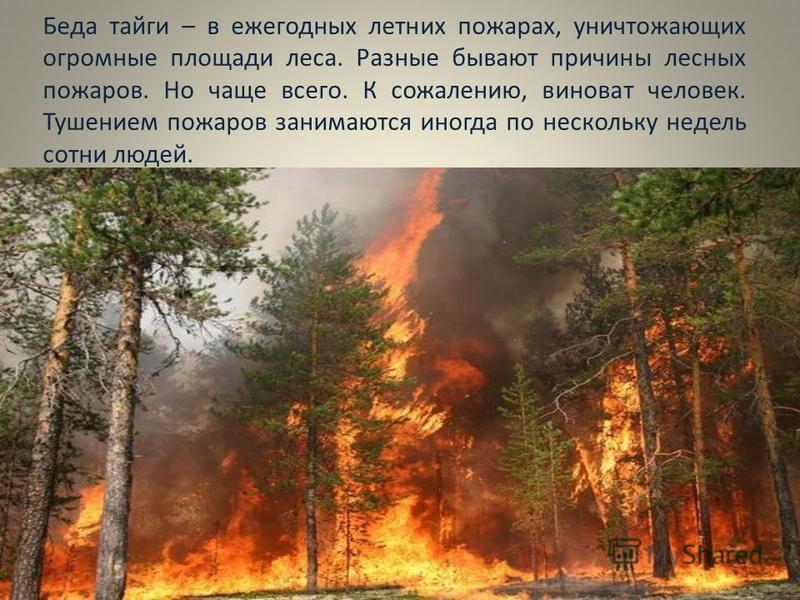 Беда тайги – в ежегодных летних пожарах, уничтожающих огромные площади леса. Разные бывают причины лесных пожаров. Но чаще всего. К сожалению, виноват человек. Тушением пожаров занимаются иногда по нескольку недель сотни людей.