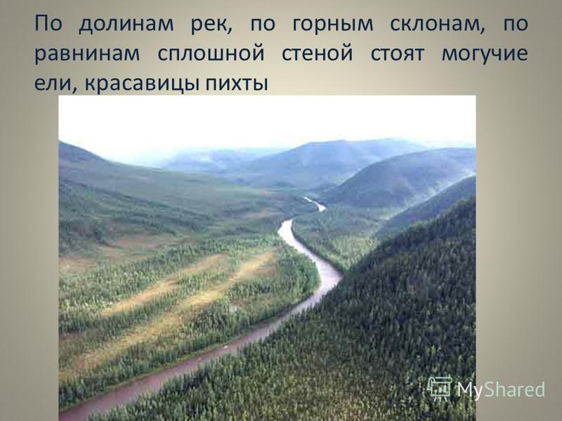 По долинам рек, по горным склонам, по равнинам сплошной стеной стоят могучие ели, красавицы пихты