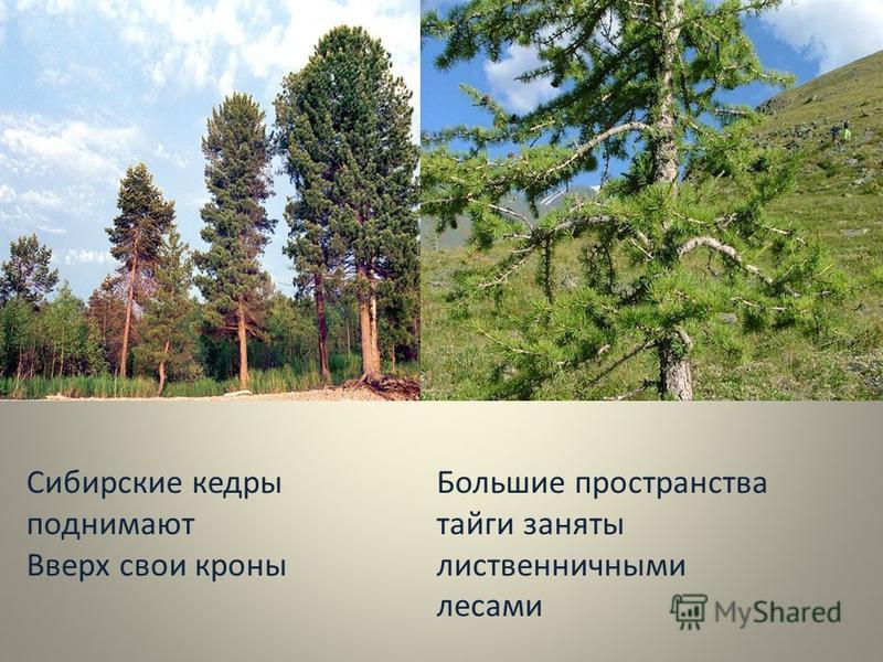 Сибирские кедры поднимают Вверх свои кроны Большие пространства тайги заняты лиственничными лесами
