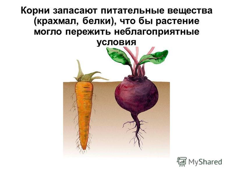 Корни запасают питательные вещества (крахмал, белки), что бы растение могло пережить неблагоприятные условия