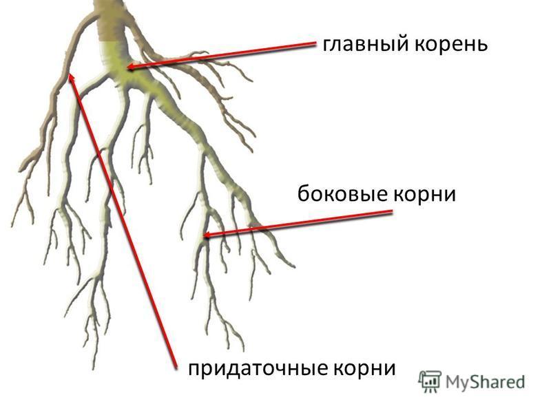 главный корень придаточные корни боковые корни