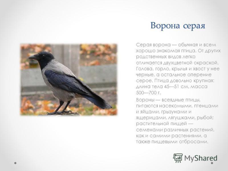 Ворона серая Серая ворона обычная и всем хорошо знакомая птица. От других родственных видов легко отличается двухцветной окраской. Голова, горло, крылья и хвост у нее черные, а остальное оперение серое. Птица довольно крупная: длина тела 4551 см, мас