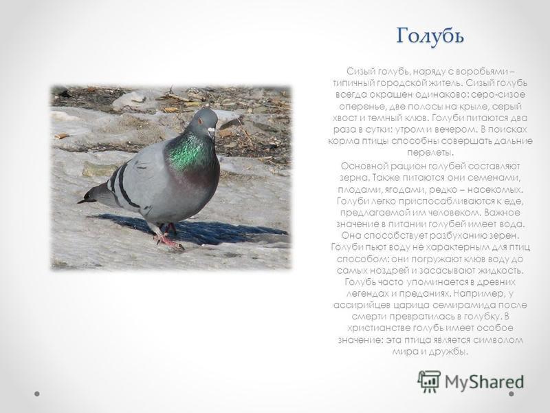 Голубь Сизый голубь, наряду с воробьями – типичный городской житель. Сизый голубь всегда окрашен одинаково: серо-сизое оперенье, две полосы на крыле, серый хвост и темный клюв. Голуби питаются два раза в сутки: утром и вечером. В поисках корма птицы