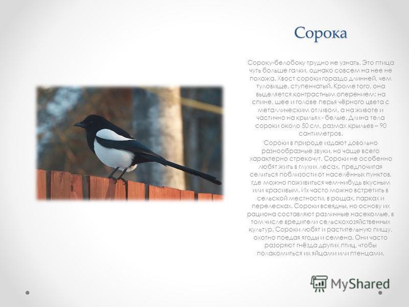 Сорока Сороку-белобоку трудно не узнать. Это птица чуть больше галки, однако совсем на нее не похожа. Хвост сороки гораздо длинней, чем туловище, ступенчатый. Кроме того, она выделяется контрастным оперением: на спине, шее и голове перья чёрного цвет