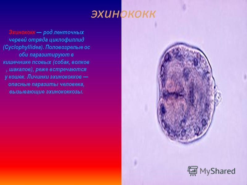 Малярийный плазмодий Плазмодии род паразитических одноклеточны х организмов, некоторые виды которого вызывают малярию. Известно около двухсот видов, из них по меньшей мере десять паразитируют на человеке. Прочие виды паразитируют на других позвоночны