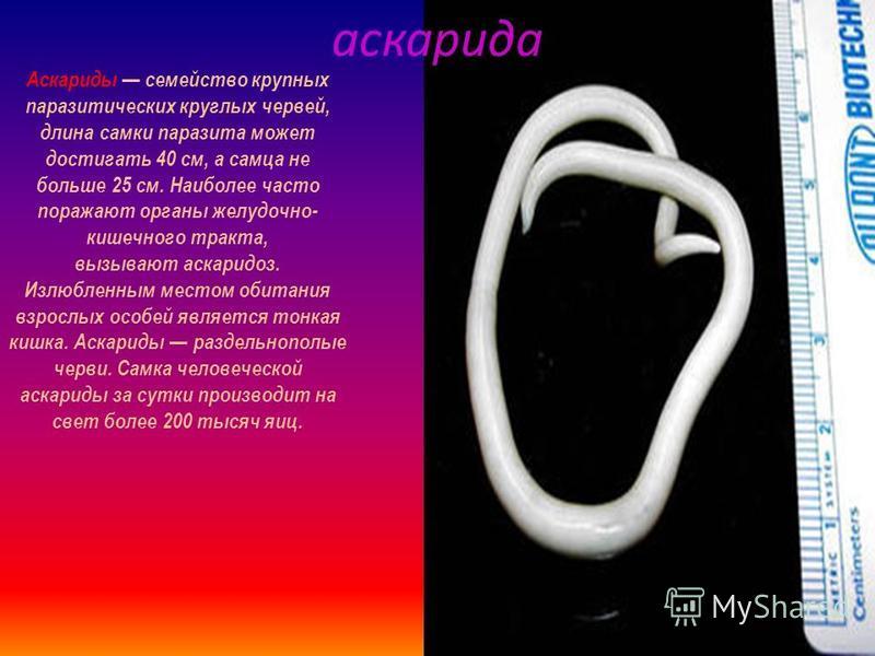 эхинококк Эхинококк род ленточных червей отряда циклофиллид (Cyclophyllidea). Половозрелые ос оби паразитируют в кишечнике псовых (собак, волков, шакалов), реже встречаются у кошек. Личинки эхинококков опасные паразиты человека, вызывающие эхинококко