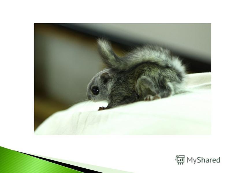 Для летучей белочки очень важно, чтобы рядом с ее гнездом росли осина и береза. Также она очень любит селиться в ольховых насаждениях или рядом с ними.