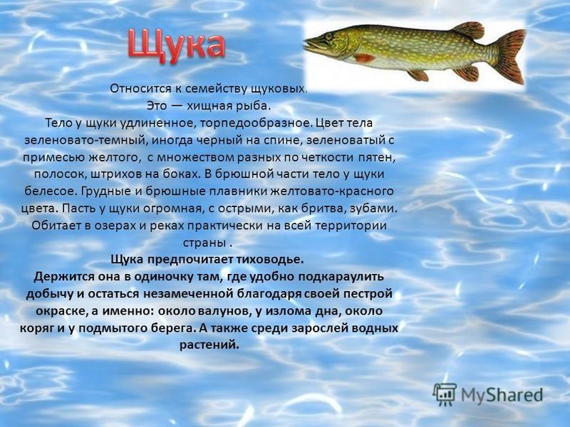 Относится к семейству щуковых. Это хищная рыба. Тело у щуки удлиненное, торпедообразное. Цвет тела зеленовато-темный, иногда черный на спине, зеленоватый с примесью желтого, с множеством разных по четкости пятен, полосок, штрихов на боках. В брюшной