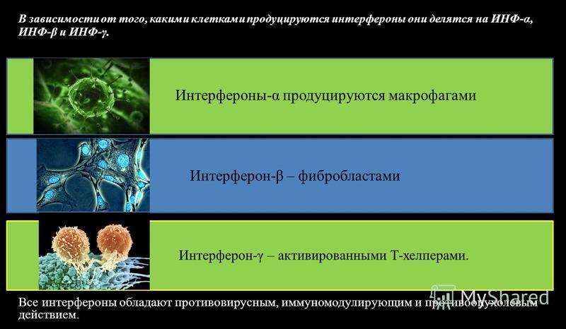 В зависимости от того, какими клетками продуцируются интерфероны они делятся на ИНФ-α, ИНФ-β и ИНФ-γ. Интерфероны-α продуцируются макрофагами Интерферон-β – фибробластами Интерферон-γ – активированными Т-хелперами. Все интерфероны обладают противовир