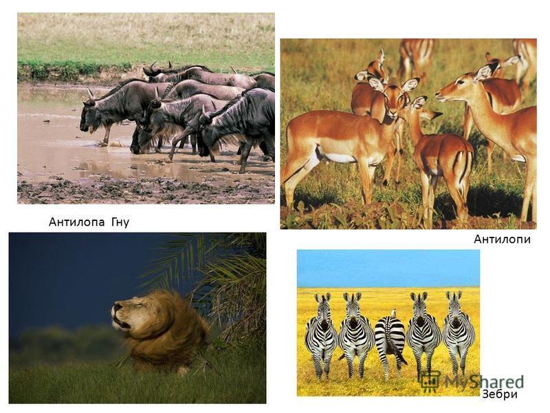 Антилопи Зебри Антилопа Гну