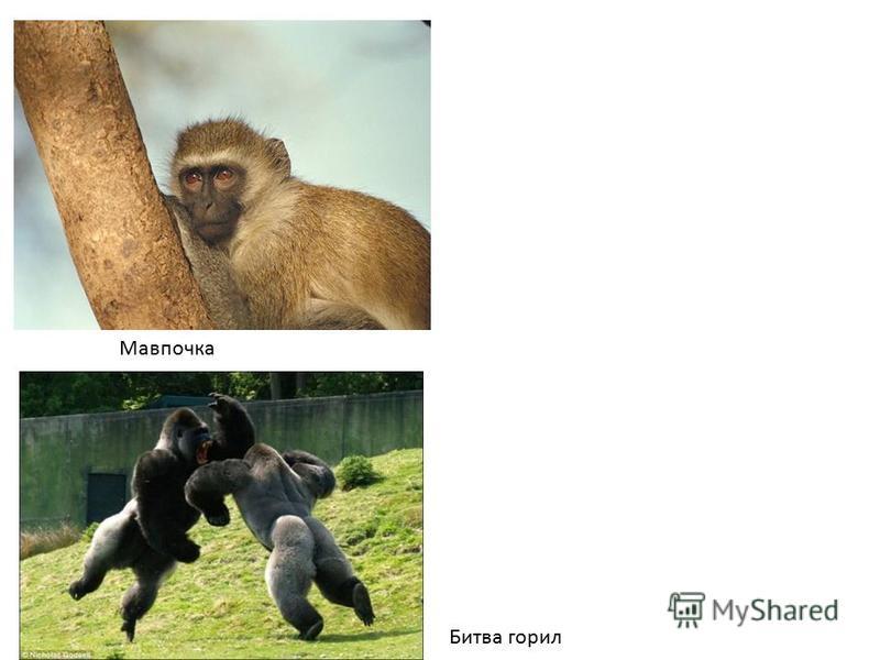 горила Битва горил Мавпочка