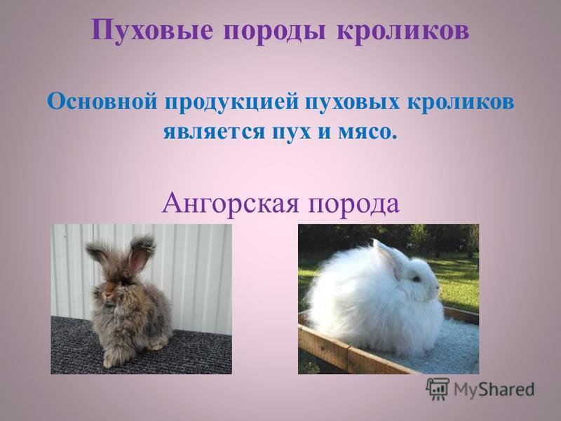 Пуховые породы кроликов Основной продукцией пуховых кроликов является пух и мясо. Ангорская порода
