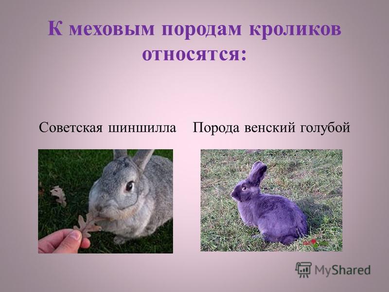 К меховым породам кроликов относятся: Советская шиншилла Порода венский голубой