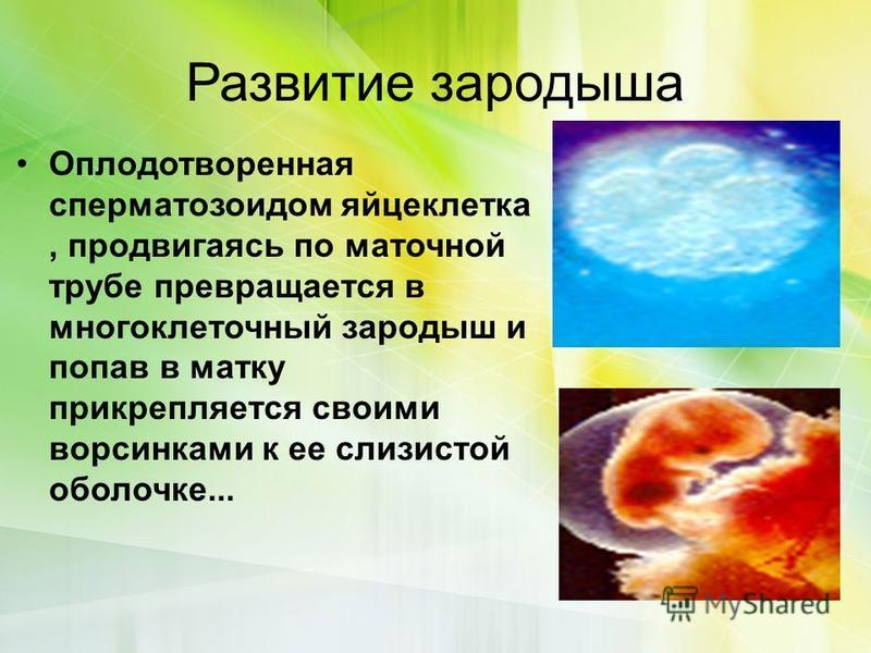 Развитие зародыша Оплодотворенная сперматозоидом яйцеклетка, продвигаясь по маточной трубе превращается в многоклеточный зародыш и попав в матку прикрепляется своими ворсинками к ее слизистой оболочке...