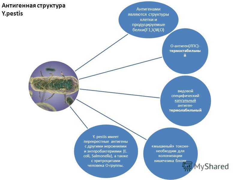 Антигенами являются структуры клетки и продуцируемые белки(F1,V,W,О) О-антиген(ЛПС)- термостабильный видовой специфический капсульный антиген- термолабильный «мышиный» токсин- необходим для колонизации кишечника блохи Y. pestis имеет перекрестные ант