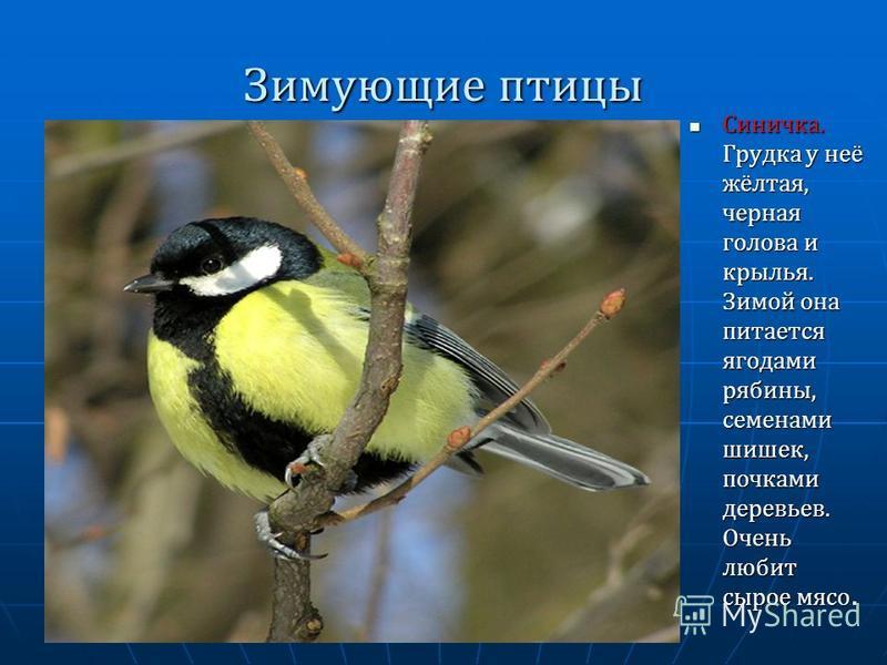 Зимующие птицы Синичка. Грудка у неё жёлтая, черная голова и крылья. Зимой она питается ягодами рябины, семенами шишек, почками деревьев. Очень любит сырое мясо. Синичка. Грудка у неё жёлтая, черная голова и крылья. Зимой она питается ягодами рябины,