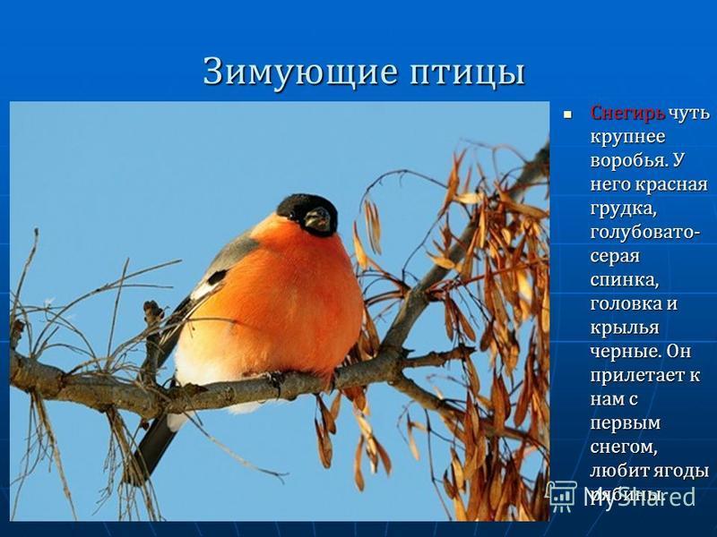 Зимующие птицы Снегирь чуть крупнее воробья. У него красная грудка, голубовато- серая спинка, головка и крылья черные. Он прилетает к нам с первым снегом, любит ягоды рябины. Снегирь чуть крупнее воробья. У него красная грудка, голубовато- серая спин