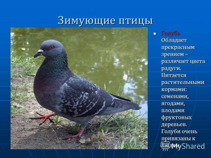 Зимующие птицы Голубь Обладает прекрасным зрением – различает цвета радуги. Питается растительными кормами: семенами, ягодами, плодами фруктовых деревьев. Голуби очень привязаны к людям. Голубь Обладает прекрасным зрением – различает цвета радуги. Пи