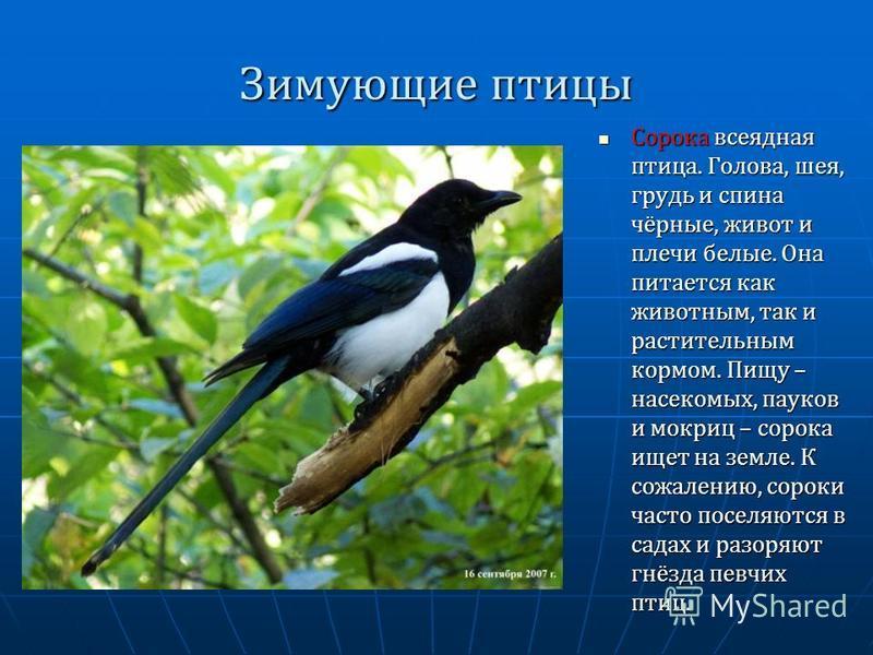 Зимующие птицы Сорока всеядная птица. Голова, шея, грудь и спина чёрные, живот и плечи белые. Она питается как животным, так и растительным кормом. Пищу – насекомых, пауков и мокриц – сорока ищет на земле. К сожалению, сороки часто поселяются в садах