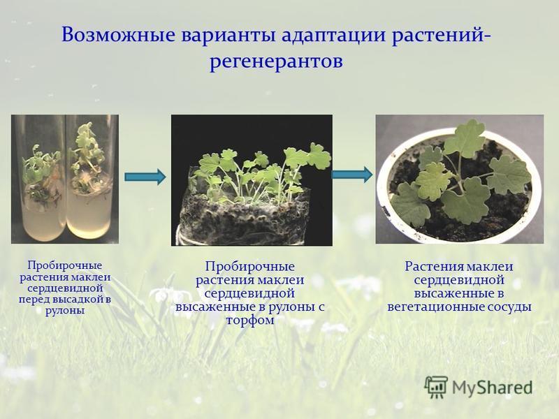 Пробирочные растения маклеи сердцевидной перед высадкой в рулоны Пробирочные растения маклеи сердцевидной высаженные в рулоны с торфом Растения маклеи сердцевидной высаженные в вегетационные сосуды Возможные варианты адаптации растений- регенератов
