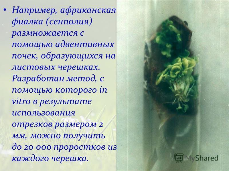 Например, африканская фиалка (сенполия) размножается с помощью адвентивных почек, образующихся на листовых черешках. Разработан метод, с помощью которого in vitro в результате использования отрезков размером 2 мм, можно получить до 20 000 проростков