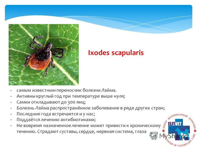 Ixodes scapularis -самым известным переносчик болезни Лайма. -Активны круглый год при температуре выше нуля; -Самки откладывают до 300 яиц; -Болезнь Лайма распространённое заболевание в ряде других стран; -Последние года встречается и у нас; -Поддаёт