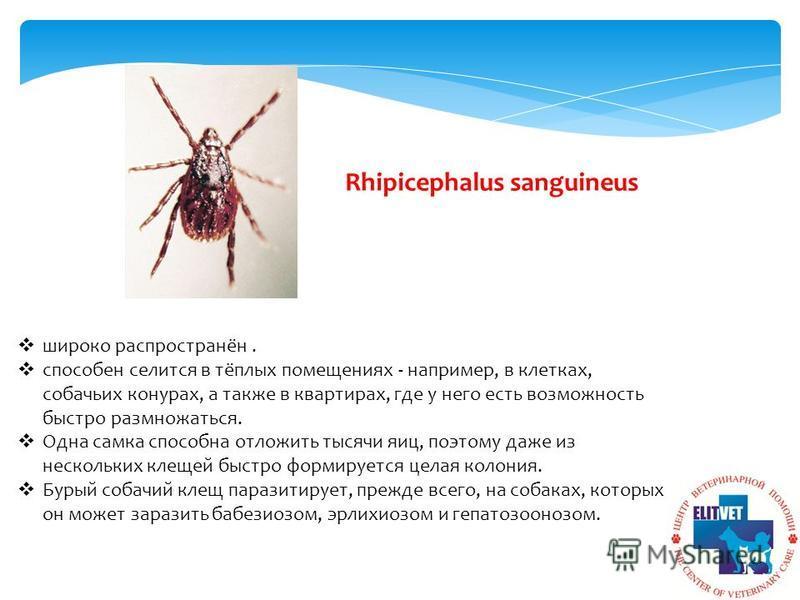 Rhipicephalus sanguineus широко распространён. способен селится в тёплых помещениях - например, в клетках, собачьих конурах, а также в квартирах, где у него есть возможность быстро размножаться. Одна самка способна отложить тысячи яиц, поэтому даже и