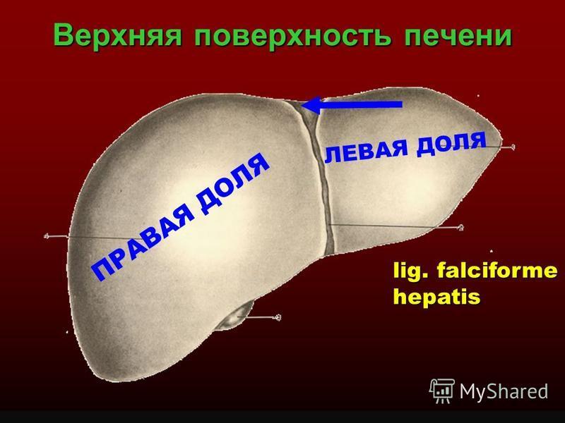 Верхняя поверхность печени ПРАВАЯ ДОЛЯ ЛЕВАЯ ДОЛЯ lig. falciforme hepatis