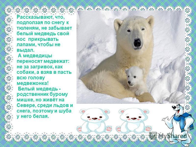Рассказывают, что, подползая по снегу к тюленям, не забывает белый медведь свой нос прикрывать лапами, чтобы не выдал. А медведицы переносят медвежат: не за загривок, как собаки, а взяв в пасть всю голову медвежонка! Белый медведь - родственник буром