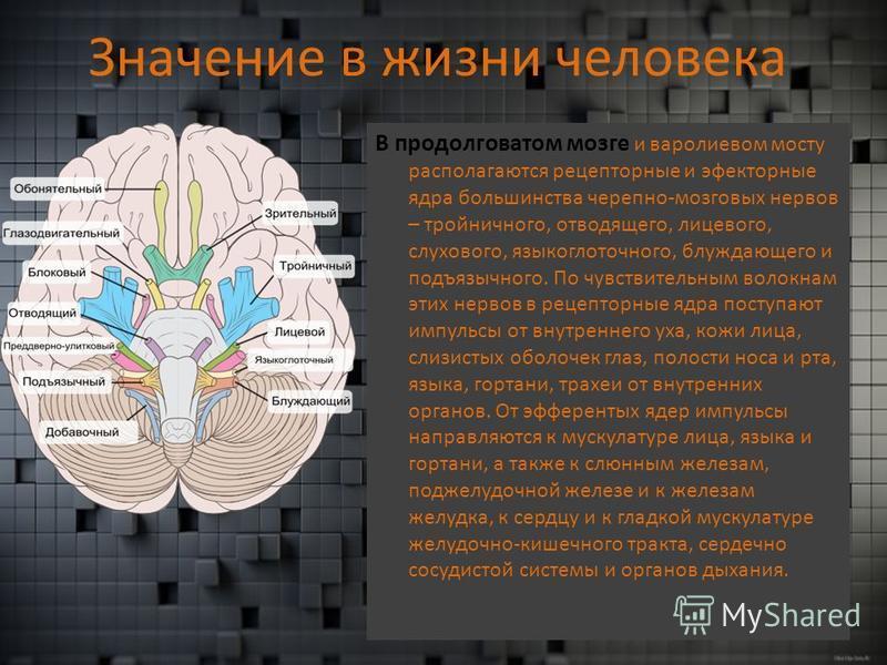 Значение в жизни человека В продолговатом мозге и варолиевом мосту располагаются рецепторные и эффекторные ядра большинства черепно-мозговых нервов – тройничного, отводящего, лицевого, слухового, языкоглоточного, блуждающего и подъязычного. По чувств