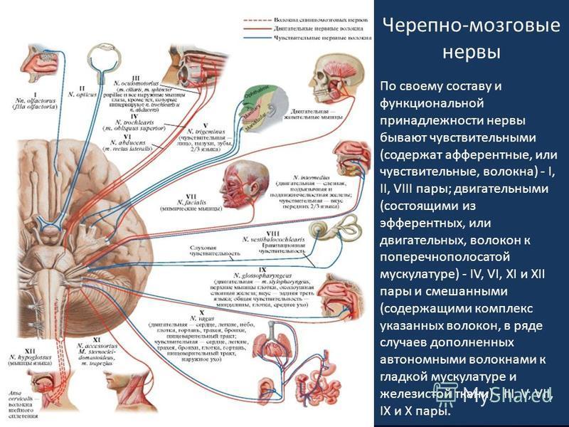 Черепно-мозговые нервы По своему составу и функциональной принадлежности нервы бывают чувствительными (содержат афферентные, или чувствительные, волокна) - I, II, VIII пары; двигательными (состоящими из эфферентных, или двигательных, волокон к попере