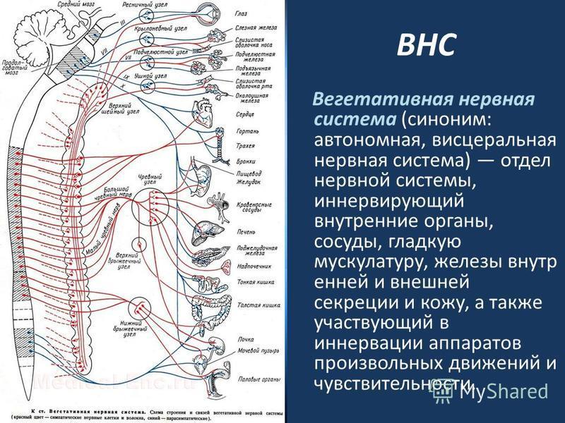 ВНС Вегетативная нервная система (синоним: автономная, висцеральная нервная система) отдел нервной системы, иннервирующий внутренние органы, сосуды, гладкую мускулатуру, железы внутренней и внешней секреции и кожу, а также участвующий в иннервации ап