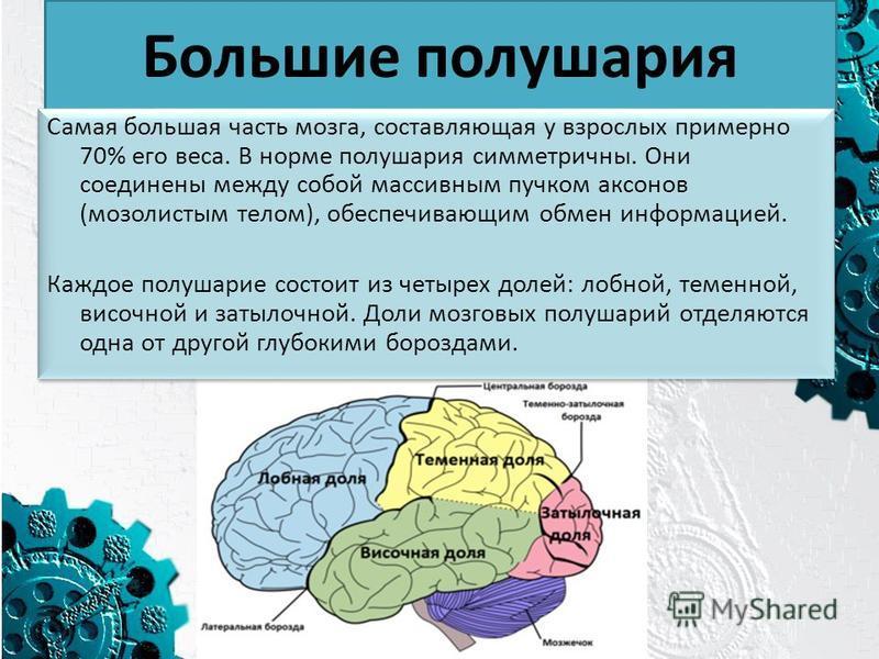 Большие полушария Самая большая часть мозга, составляющая у взрослых примерно 70% его веса. В норме полушария симметричны. Они соединены между собой массивным пучком аксонов (мозолистым телом), обеспечивающим обмен информацией. Каждое полушарие состо